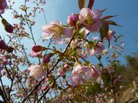 120110ヒマラヤ桜ー2